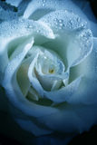 Flower rose with dew Royalty Free Stock Photography