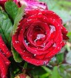 Flower Rose Drops Petals. Rainy Day Flowers Stock Photos