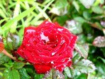 Flower Rose Drops Petals. Rainy Day Flowers Stock Photo