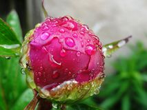 Flower Rose Drops Petals. Rainy Day Flowers Royalty Free Stock Photos