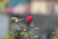 Flower. Rose flower in fair of india royalty free stock images