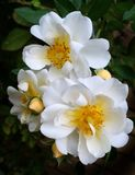 Flower, Rose Family, Flowering Plant, Rose royalty free stock photos