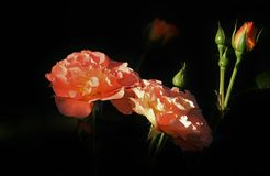 Flower, Rose Family, Garden Roses, Rose Stock Image