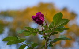 Flower, Rose Family, Plant, Pink royalty free stock photography