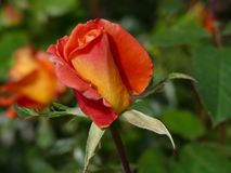 Flower, Rose Family, Rose, Floribunda Royalty Free Stock Images