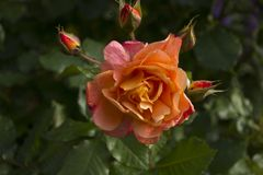Flower, Rose Family, Rose, Flowering Plant stock image