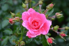 Flower, Rose Family, Rose, Flowering Plant royalty free stock image
