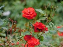 Flower, Rose Family, Rose, Flowering Plant