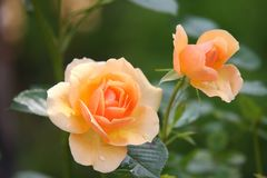 Flower, Rose Family, Rose, Flowering Plant royalty free stock photos