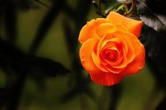 Flower, Rose Family, Rose, Yellow Stock Photos
