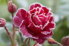 Flower rose (First frost). Royalty Free Stock Images
