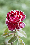 Flower rose (First frost). Royalty Free Stock Photo