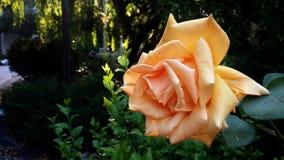 Flower, Rose, Garden, Blossom Stock Photo