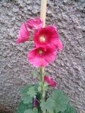 Flower rose royalty free stock image