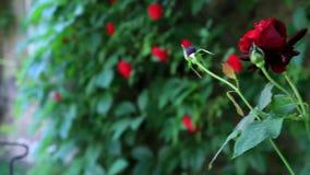 Flower rose in garden stock video footage