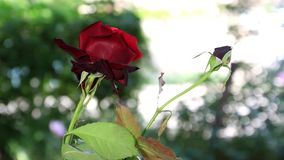 Flower rose in garden stock video