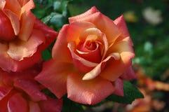 Flower, Rose, Garden Roses, Rose Family Royalty Free Stock Image