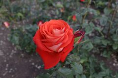 Flower of the Rose. Rose flower growing in the park Royalty Free Stock Photography