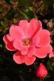 Flower of rose hybrid Tip Top, Tantau 1963, during early fall season, end of september. Flower of rose hybrid Tip Top, Tantau 1963, during early fall season Stock Photos