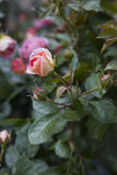 Flower Rose In Garden Royalty Free Stock Image