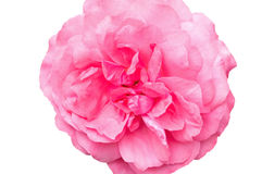 Flower of rose Stock Photography