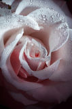 Flower  rose with morning dew Royalty Free Stock Photos