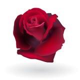 Flower rose Stock Photos
