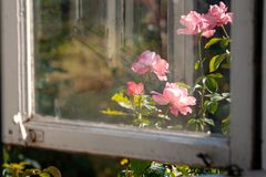 Flower rose outside the window