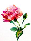 Watercolor art background colorful flower rose. The flower of the rose is painted in watercolor from nature  art background white pink red green colorful bright Stock Images
