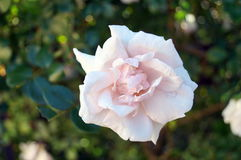 Flower rose with pale pink petals on a bush Royalty Free Stock Images