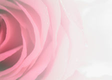 Flower rose petals, soft, sweet tones of sweet style. Background for decoration Stock Photo