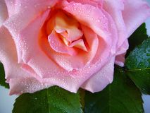 Flower, Rose, Pink, Rose Family Royalty Free Stock Photography