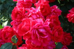 Flower, Rose, Plant, Pink royalty free stock images