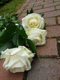 Flower, Rose, Plant, Rose Family royalty free stock photos
