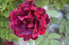 Flower rose red. An  flower rose red in garden Stock Photography