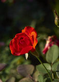 Flower Rose. Red Rose in a green garden Stock Photos