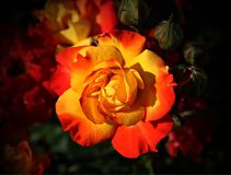 Flower, Rose, Red, Yellow Stock Photos