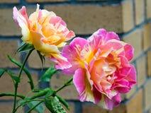 Flower, Rose, Rose Family, Flowering Plant royalty free stock images