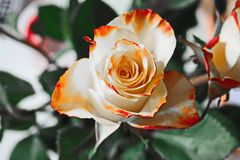 Flower, Rose, Rose Family, Flowering Plant stock photos