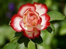 Flower, Rose, Rose Family, Garden Roses Royalty Free Stock Image