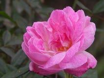 Flower, Rose, Rose Family, Pink stock photo