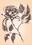 Flower Rose. Sketch on textured background Royalty Free Stock Photos