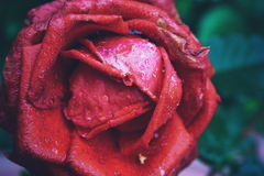 FLower. Rose after summer rain is very beautiful Stock Images