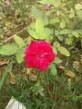 Flower. Rose sunset green grass stock image