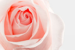 Flower rose texture nature background. Stock Images