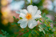 Flower rose white color, the branch of wild rose. In the garden blooming rose, close-up, isolated royalty free stock images