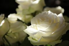 Flower, Rose, White, Rose Family Royalty Free Stock Photo