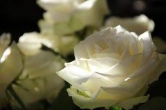 Flower, Rose, White, Rose Family Royalty Free Stock Photo