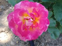 Flower rose. Yellow, bloom, yard, plant stock images