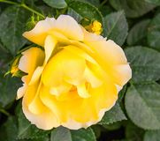 Flower, Rose, Yellow, Rose Family royalty free stock photography
